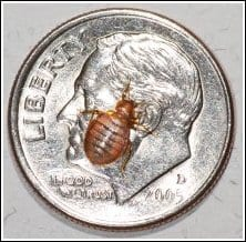Bed Bugs on Dime